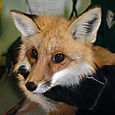 F. Red fox That Was Caught in the  Trap Behind the Church