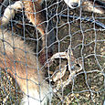 A. Fox Caught in Illegal Trap