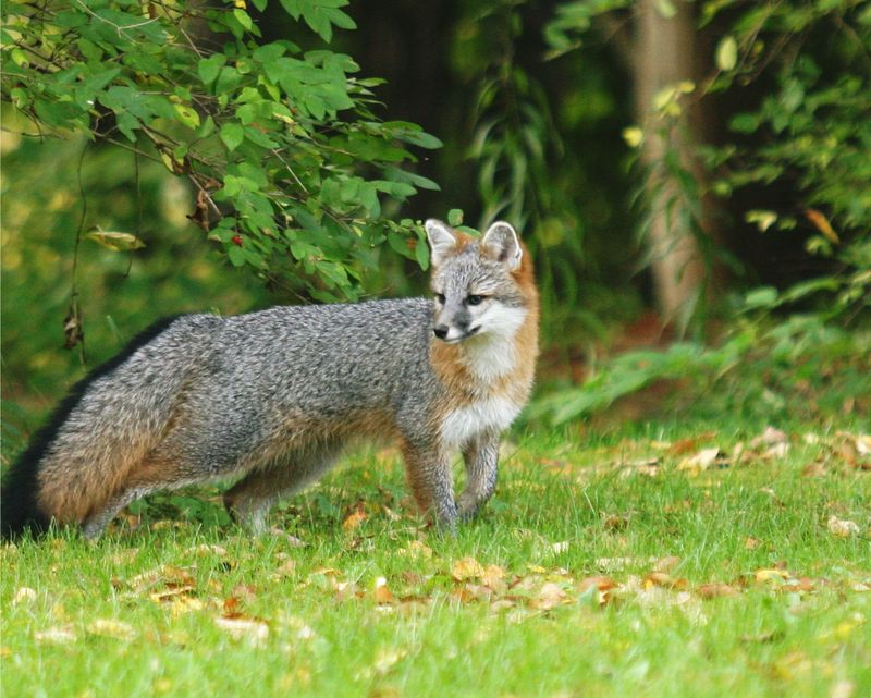 Baby gray foxes - photo#7