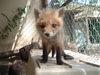 Foxpups_035