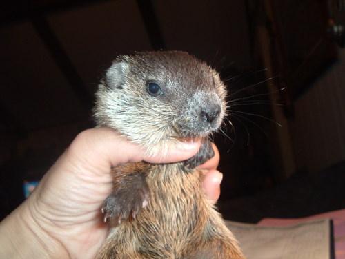 Baby woodchuck - photo#13